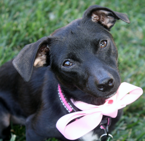 Gretchen - COURTESY LISTINGAge: 18 monthsColor: Solid BlackCoat: SmoothSex: Female/SpayedSize: Mini –9 lbs.