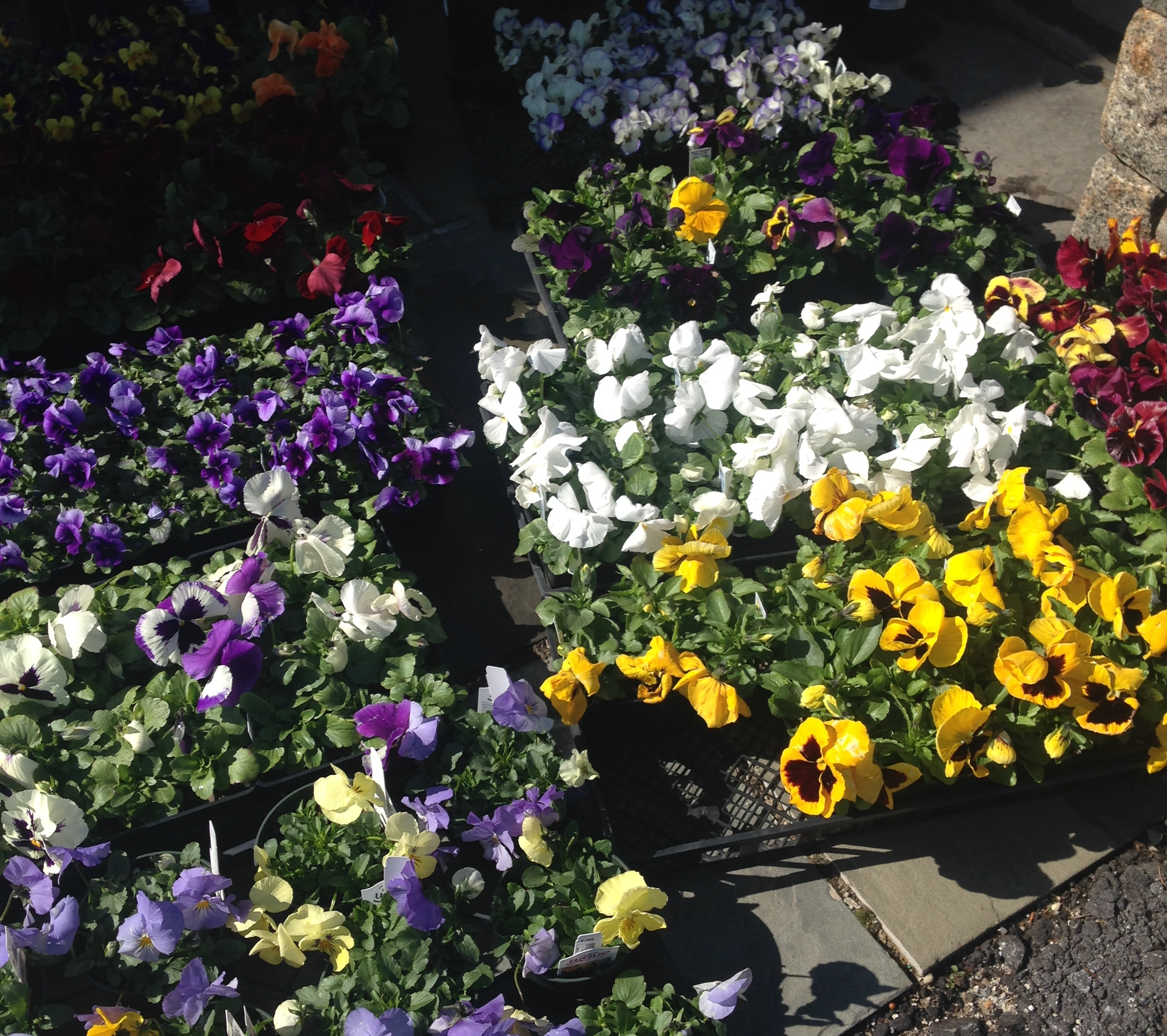 "Cheerful Pansies Said, ""Hello"" To Me"