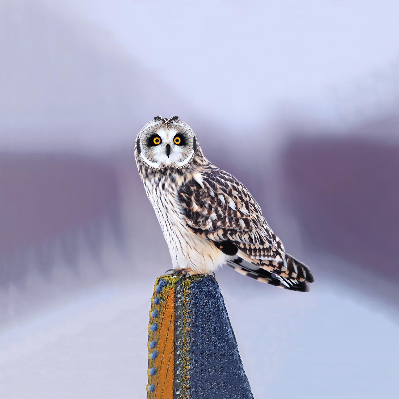 Ignavus Auspex - 6974834_owl.jpg