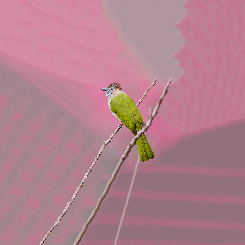 Ignavus Auspex - moutain.bulbul.pink.jpg