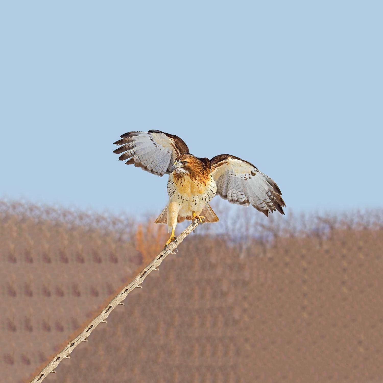 Ignavus Auspex - Perched.Red.Tail.Hawk.jpg