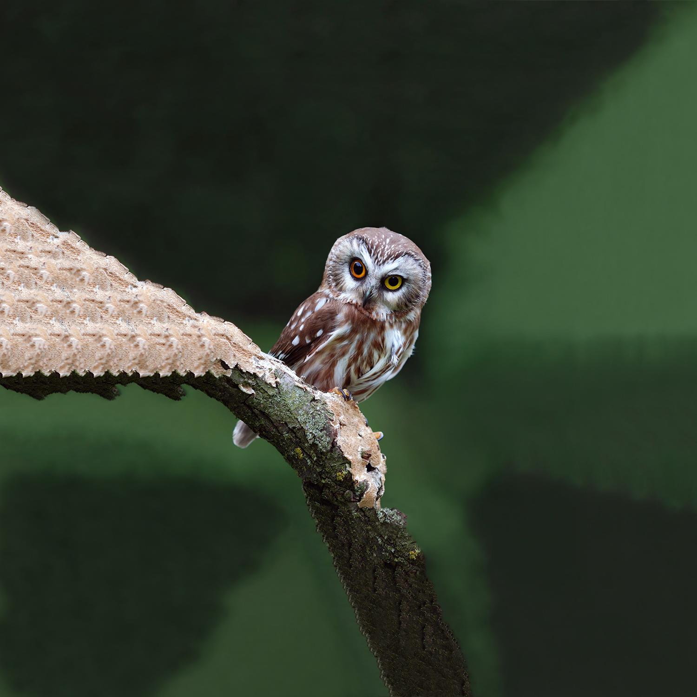 Ignavus Auspex - Owl_At_Mountsberg.jpg