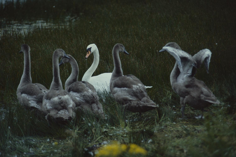 SwansGUNNIEMOBERG.jpg