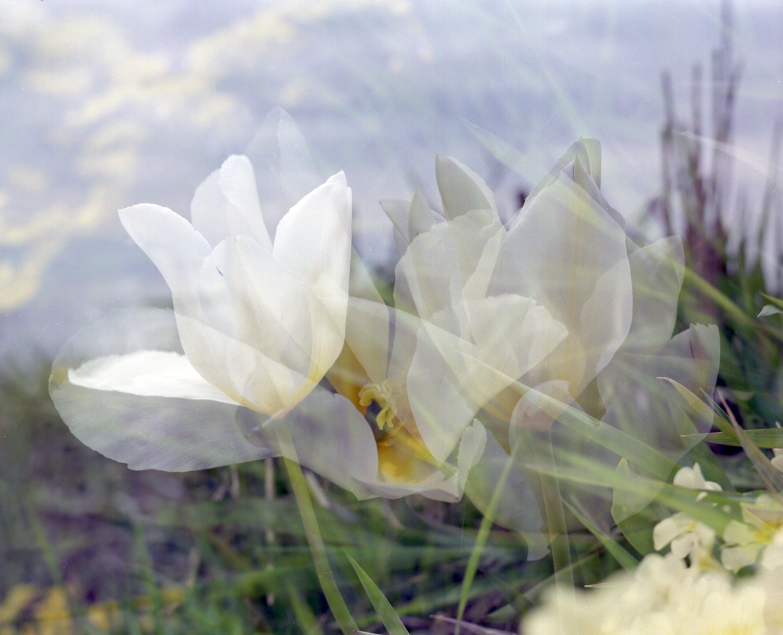 Tulips1996.jpg