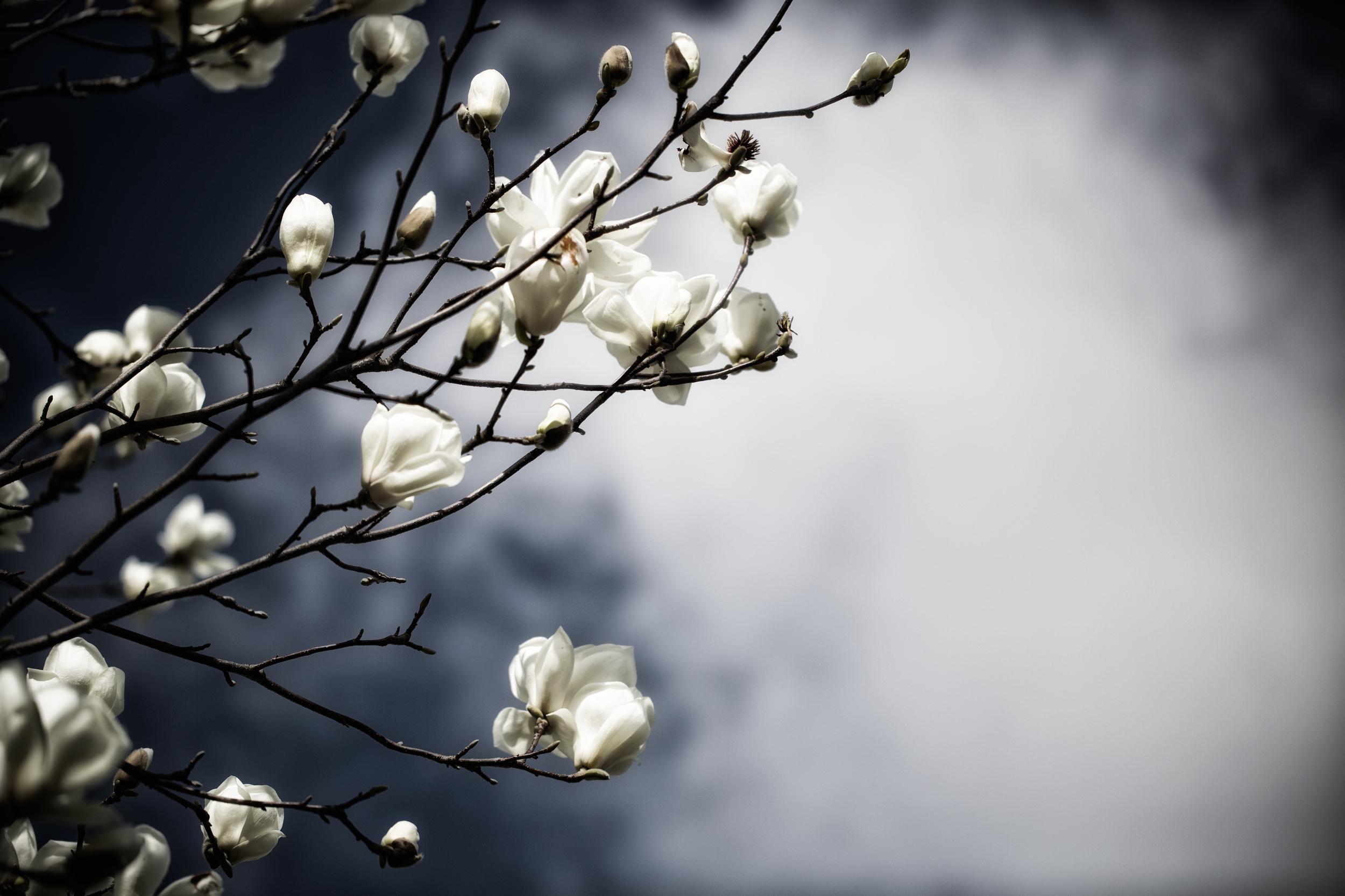 magnolias_saracorreiaphotography