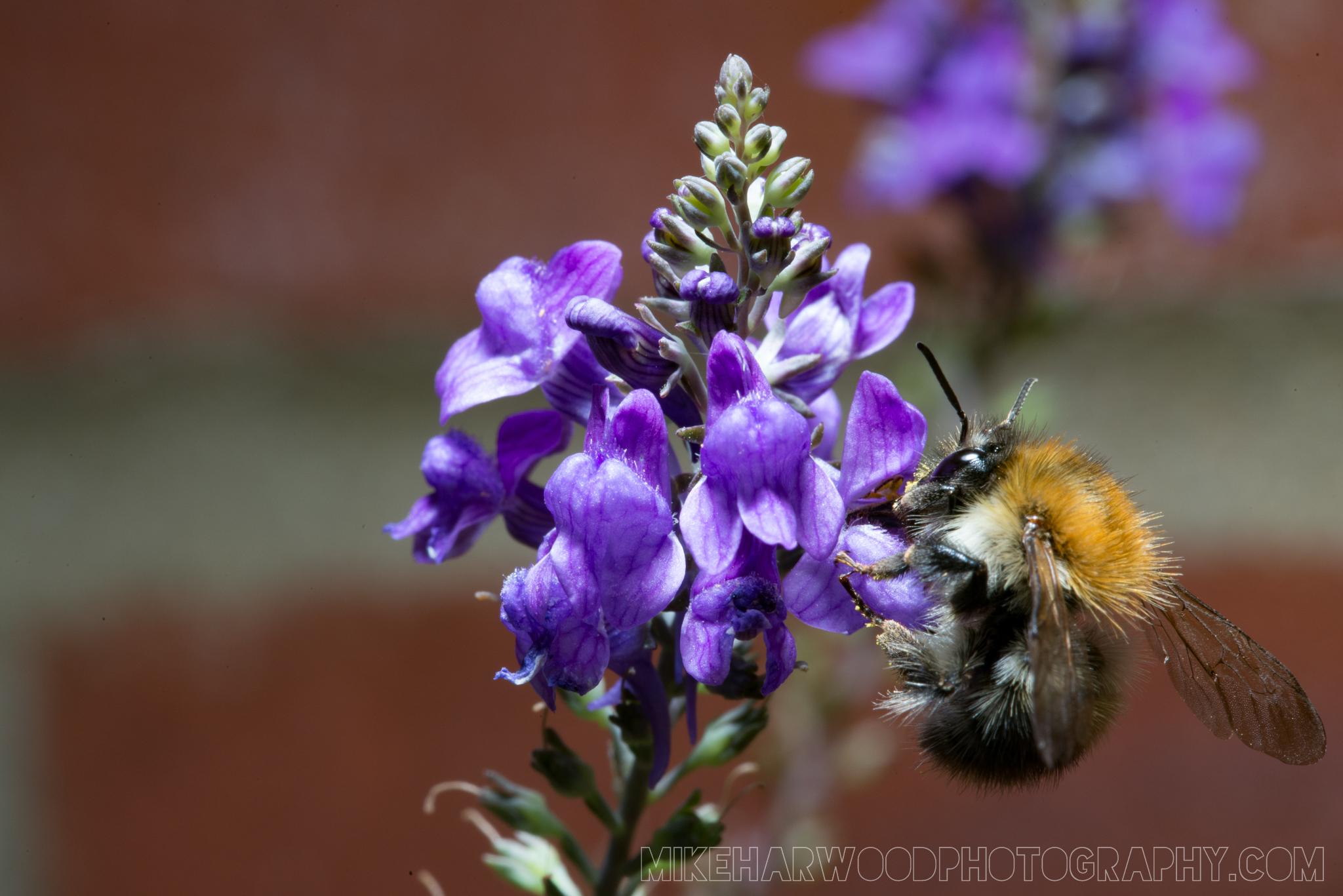 Macro shot of bumble bee