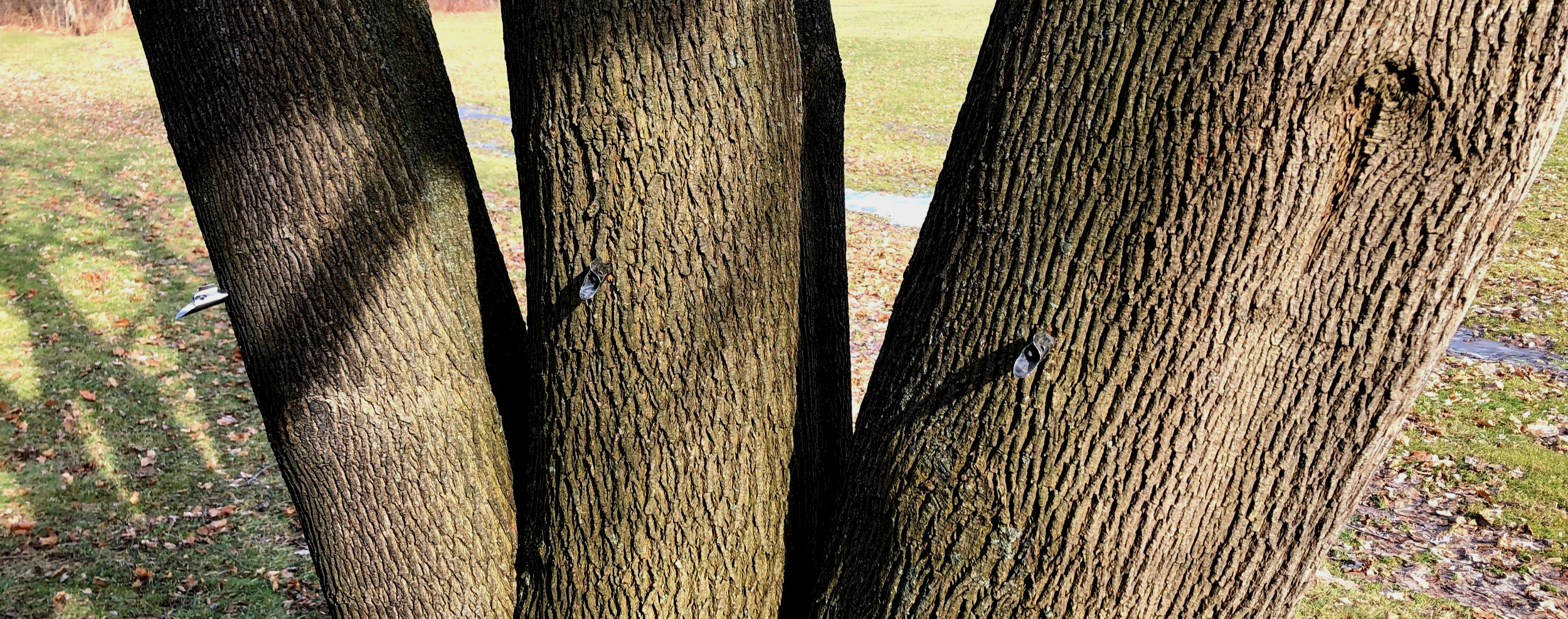 This tree is split, so each trunk gets a tap!