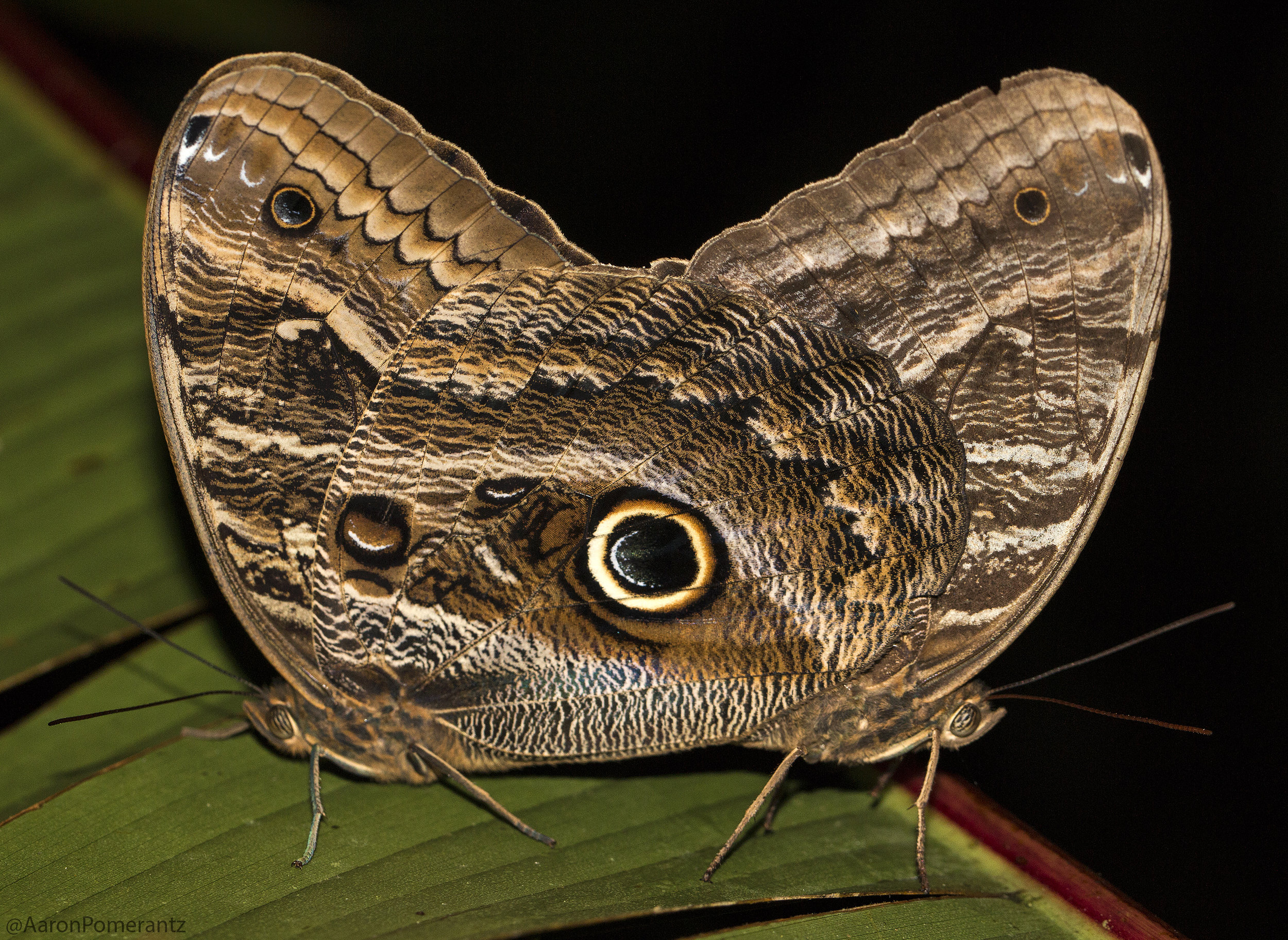 Owl Butterflies mating. The large eye spot on the hindwing is thought to startle potential predators like birds, a form of Batesian mimicry in which a harmless organism acquires protection by resembling a threatening animal.