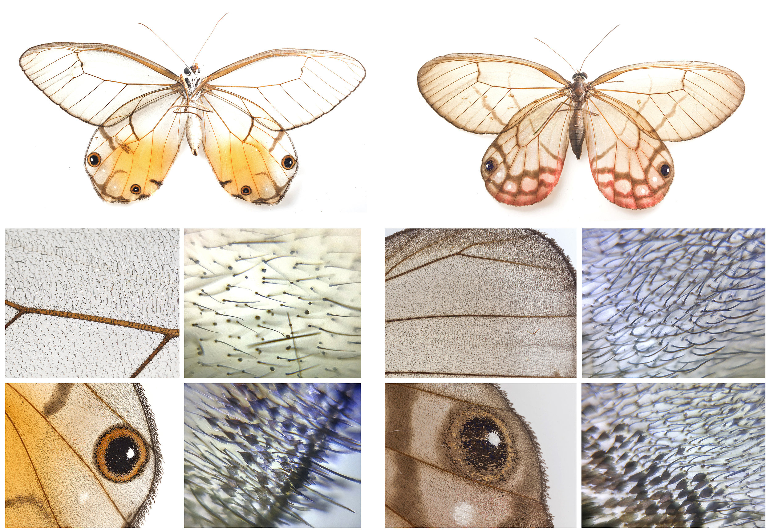 An Amber Phantom butterfly with transparent wings. Combining macro photography and the Foldscope, allowing us to see the different scale structures that make up the colored and transparent regions of the wing.