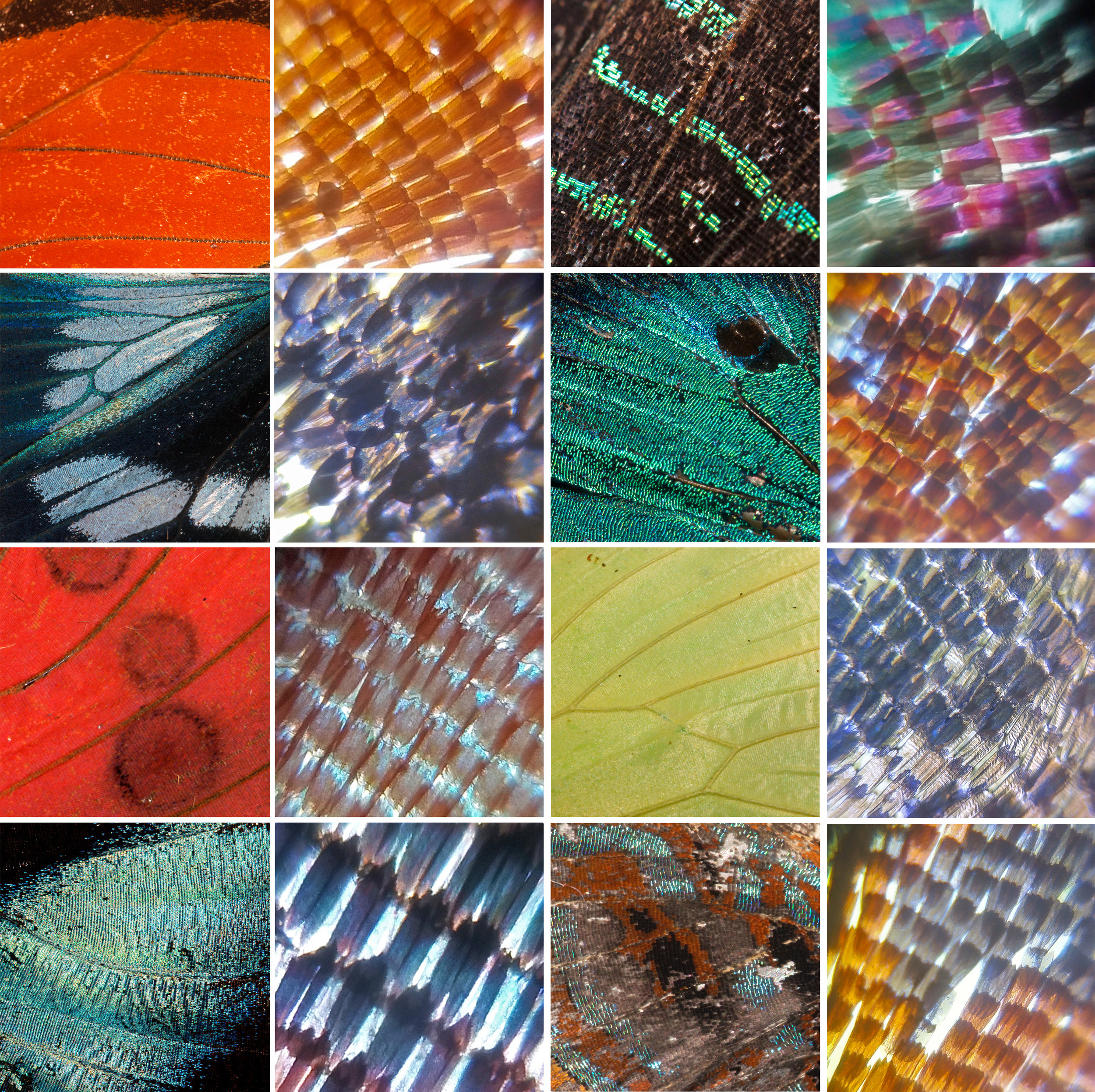 Compilation of butterfly wing scales through macro photography and Foldscope microscopy, all taken while in the field in the Amazon Rainforest.