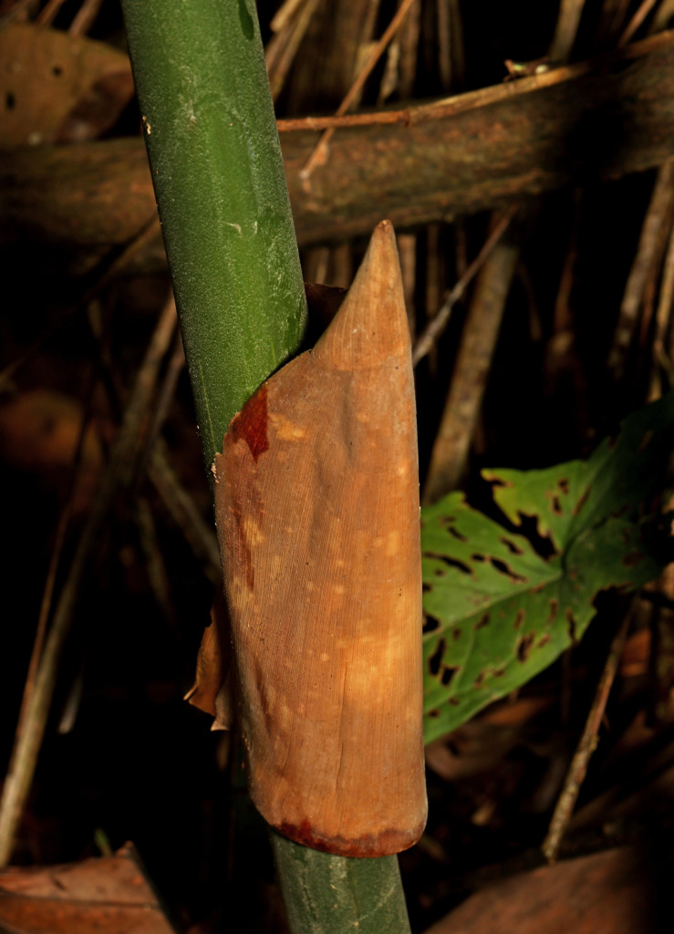 Bamboo stalk with a leaf wrapped around the shoot near the base of the plant.