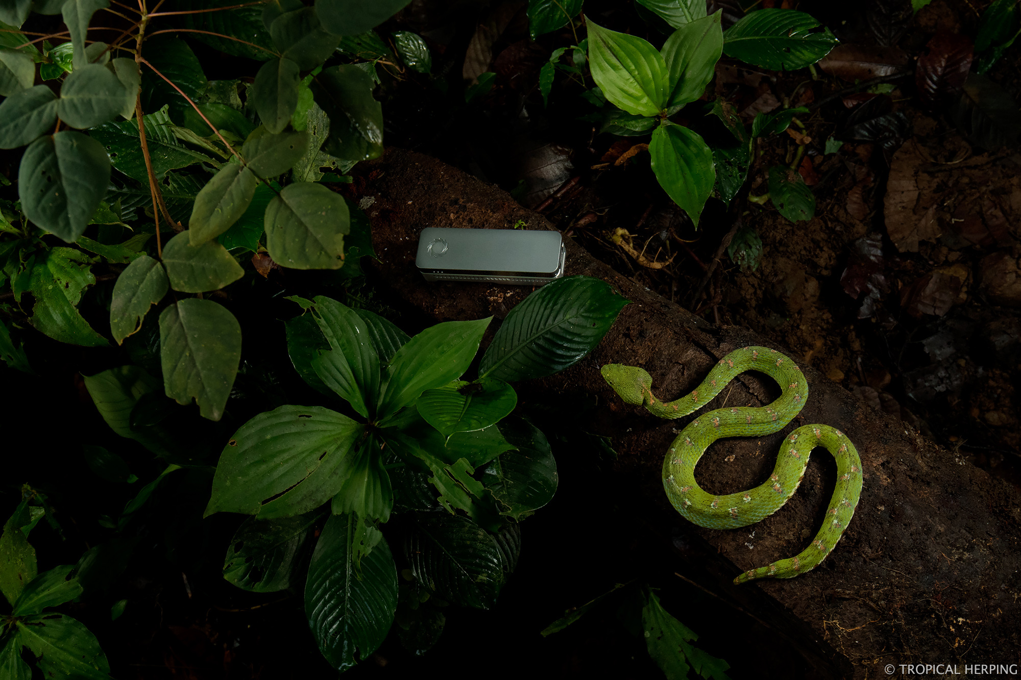 A beautiful shot of our viper next to the MinION by Lucas Bustamante