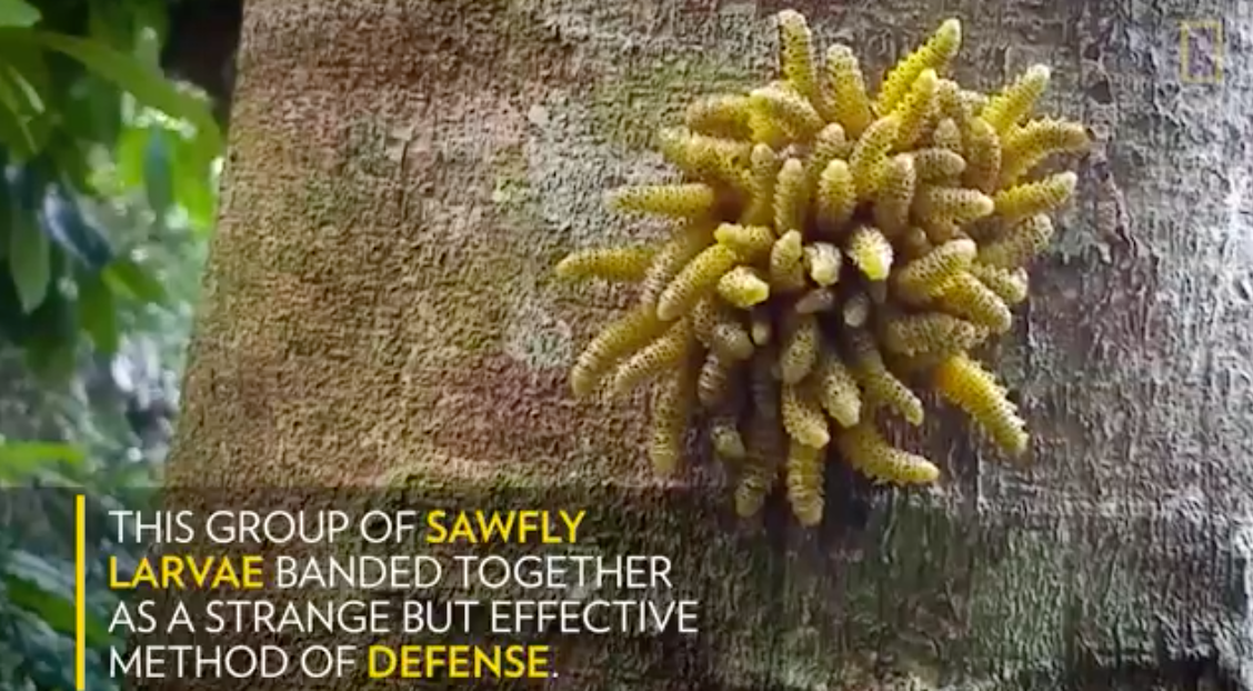 https://news.nationalgeographic.com/2017/09/sawfly-larva-defense-amazon-video-spd/