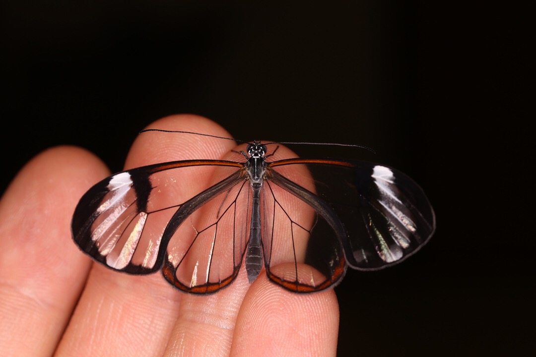 "The ""Glasswing"" butterfly  Greta oto"