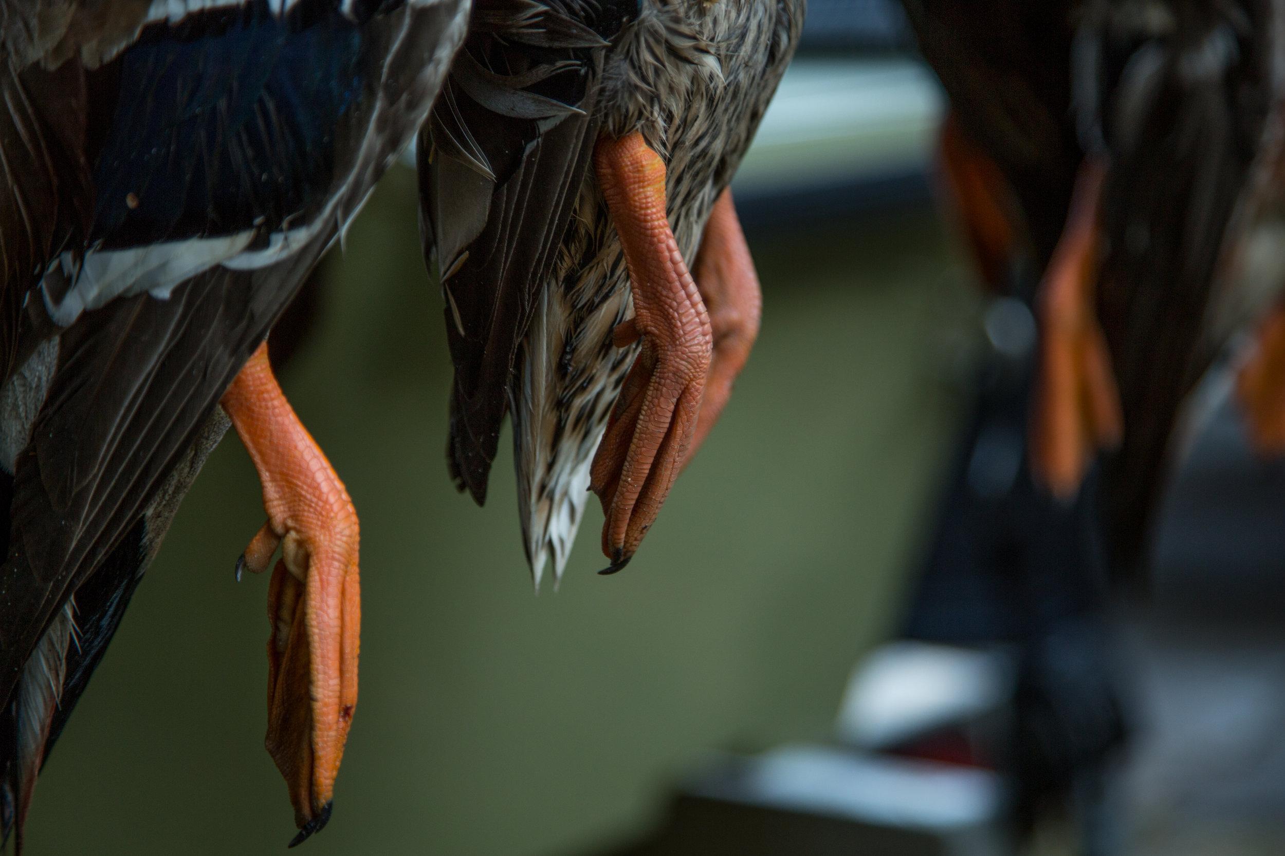 Birds_Duck_Feet_01.jpg