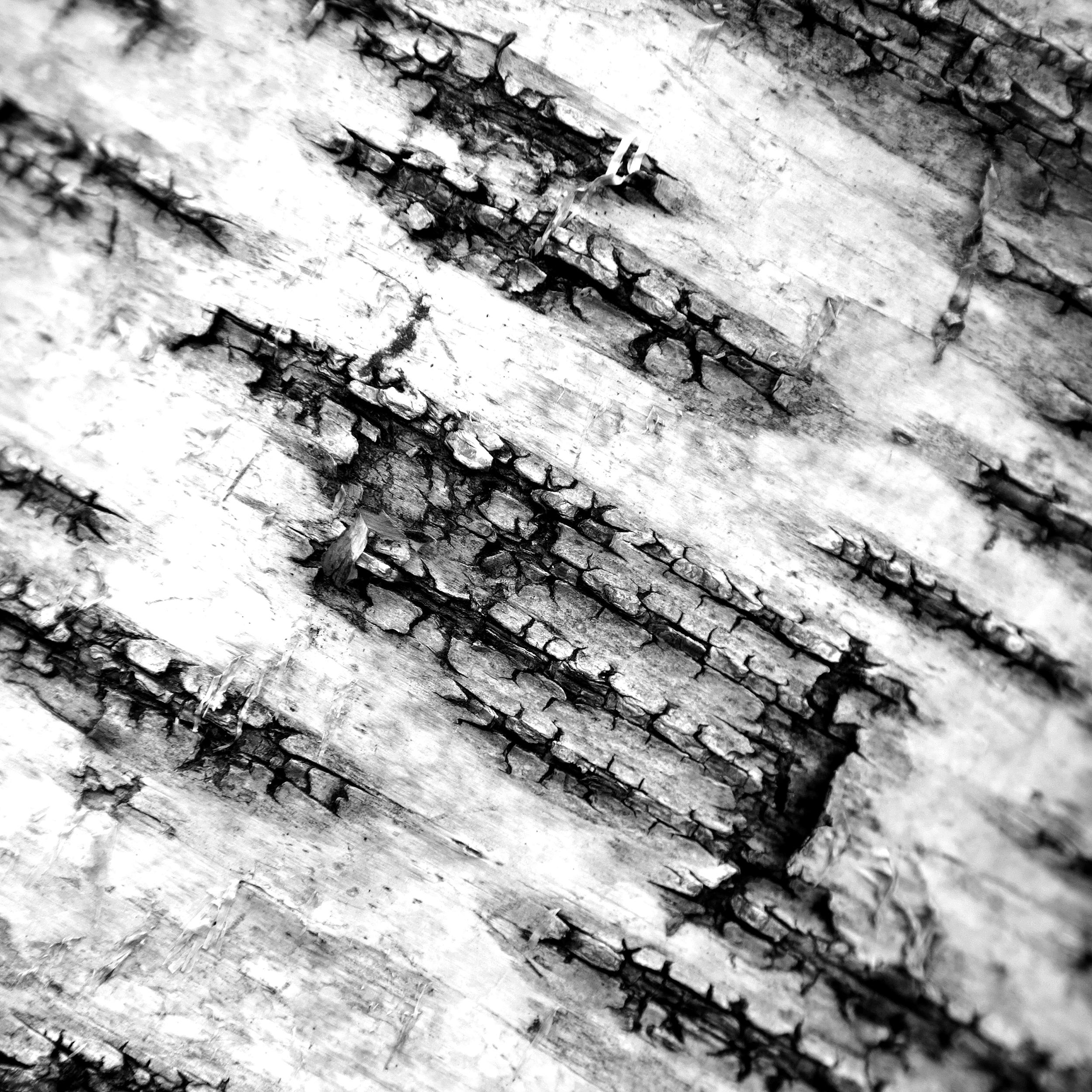 alex foster photographer bark epping forest silver birch hidden beauty essex london.jpg