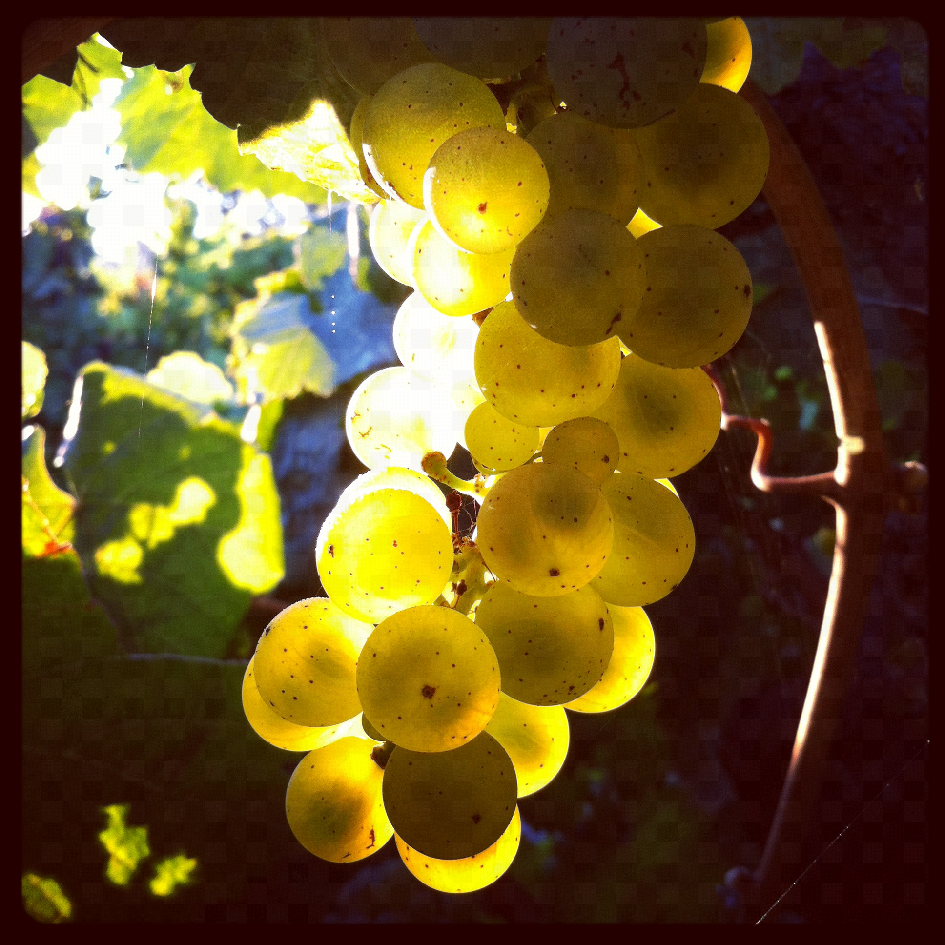 Riesling, day of before picking by Rory of Calder Wines