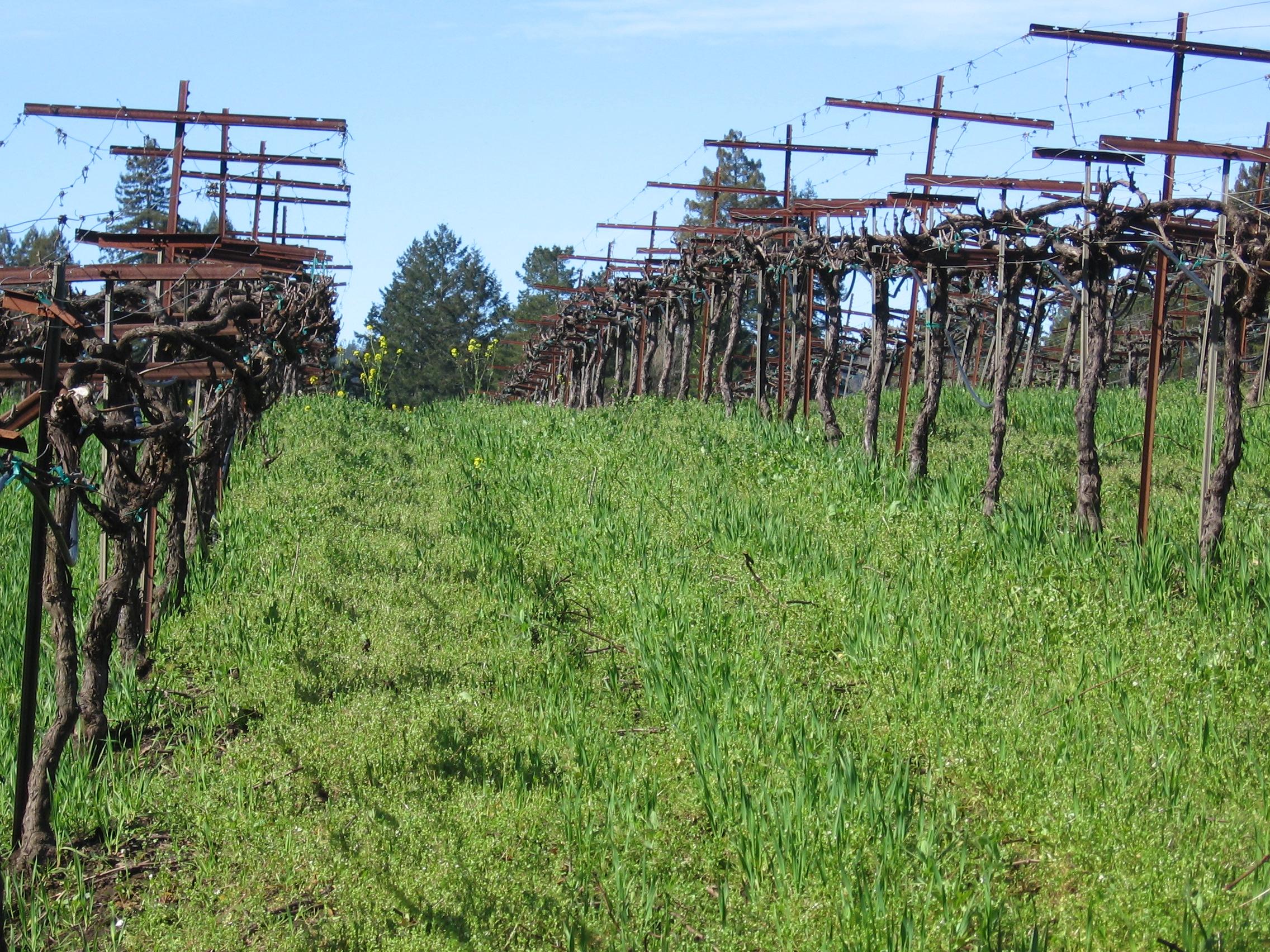 Dormant vines at Heintz copy.JPG