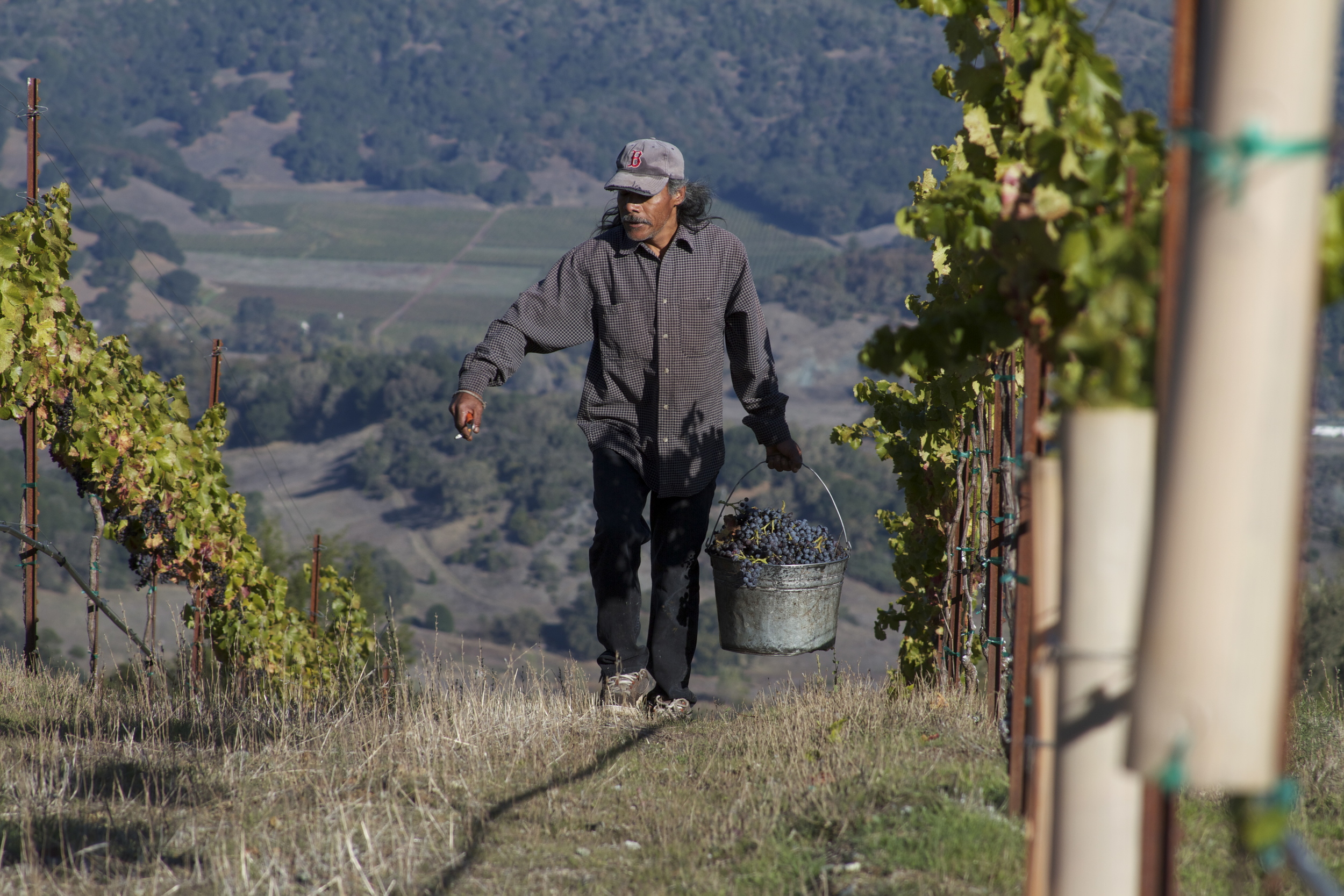Harvest at Sunhawk Vineyard by Kevin of Dirty  Rowdy