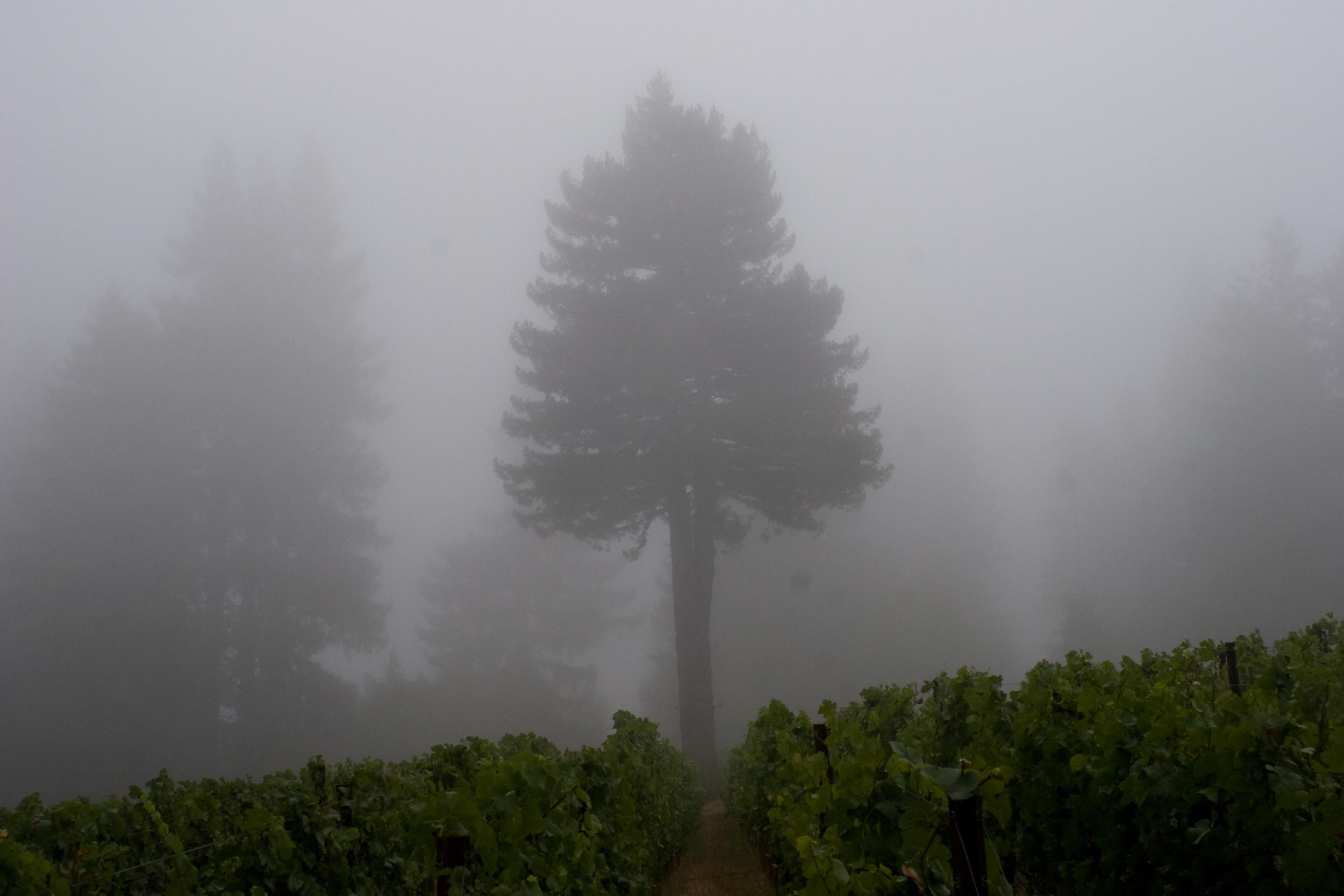 W.E. Bottoms Pinot Noir Vineyard by Kevin of Salinia
