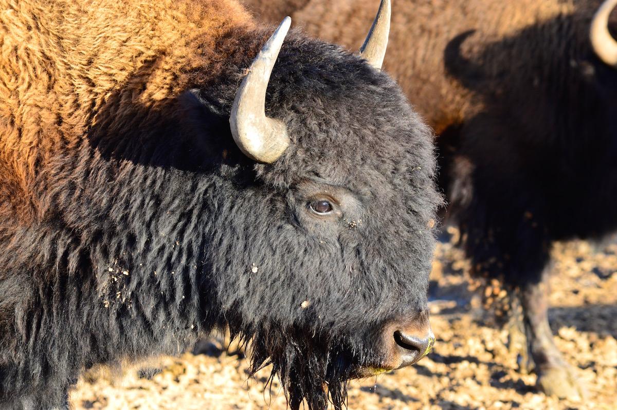 Zion 4 Buffalo.jpg