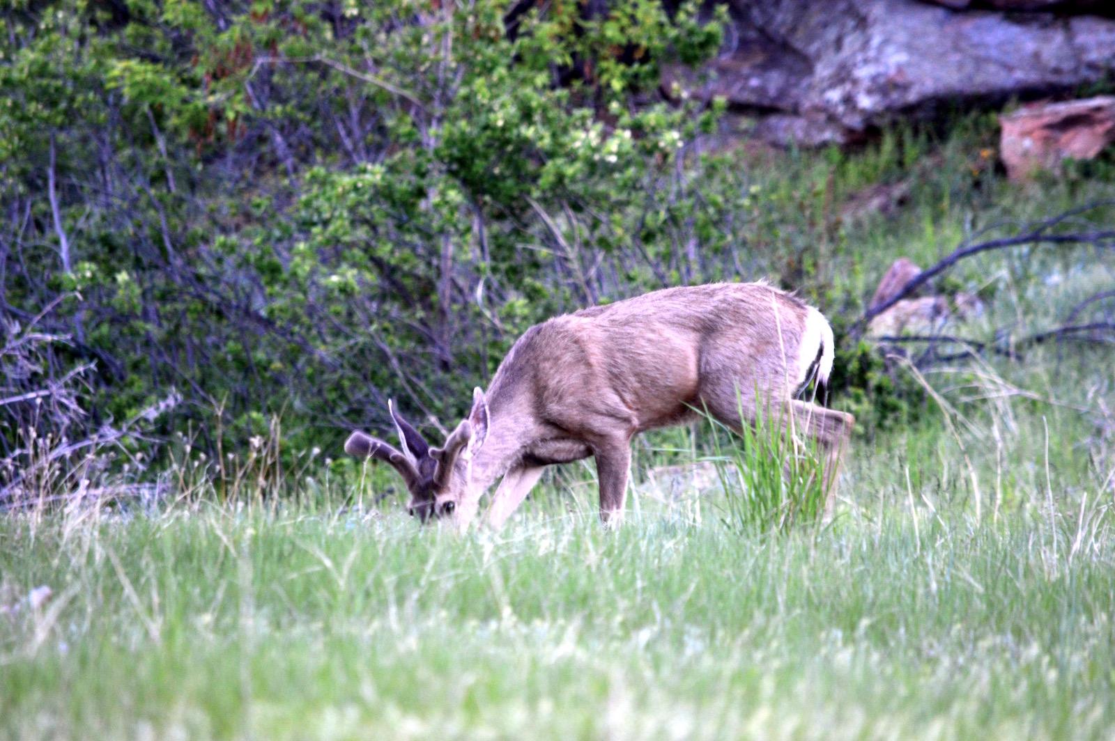 Flagstaff deer cheri ruskus