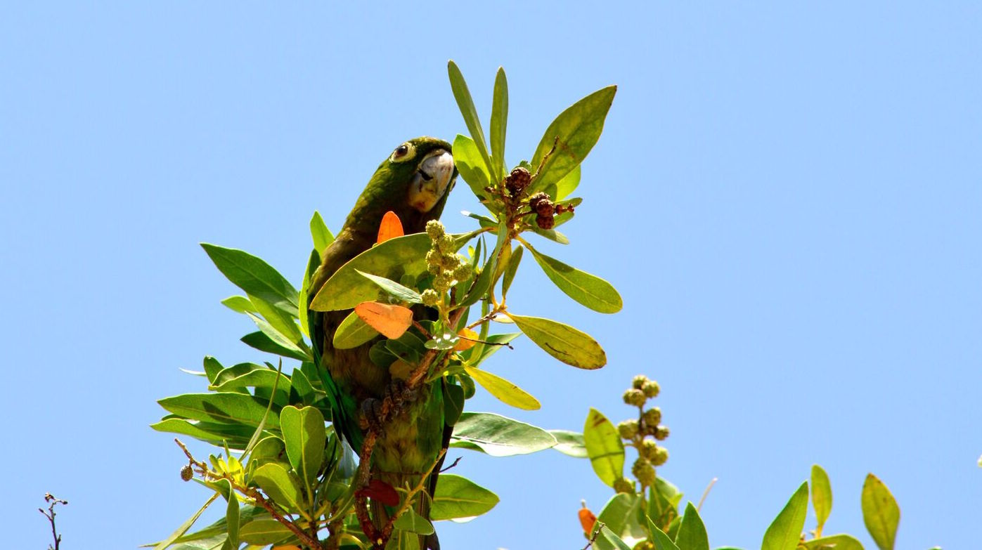 jamaica parrot.jpg