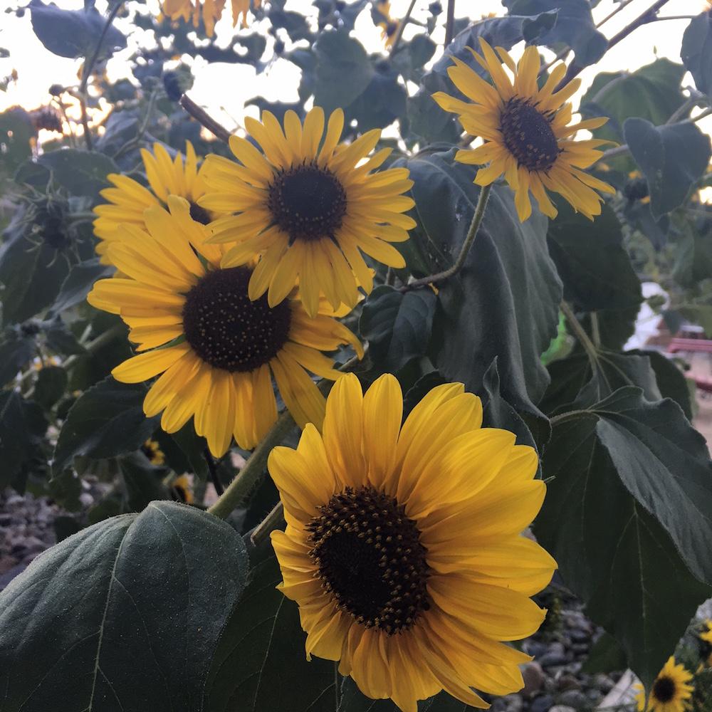 Sunflower Cheri Ruskus 1.JPG