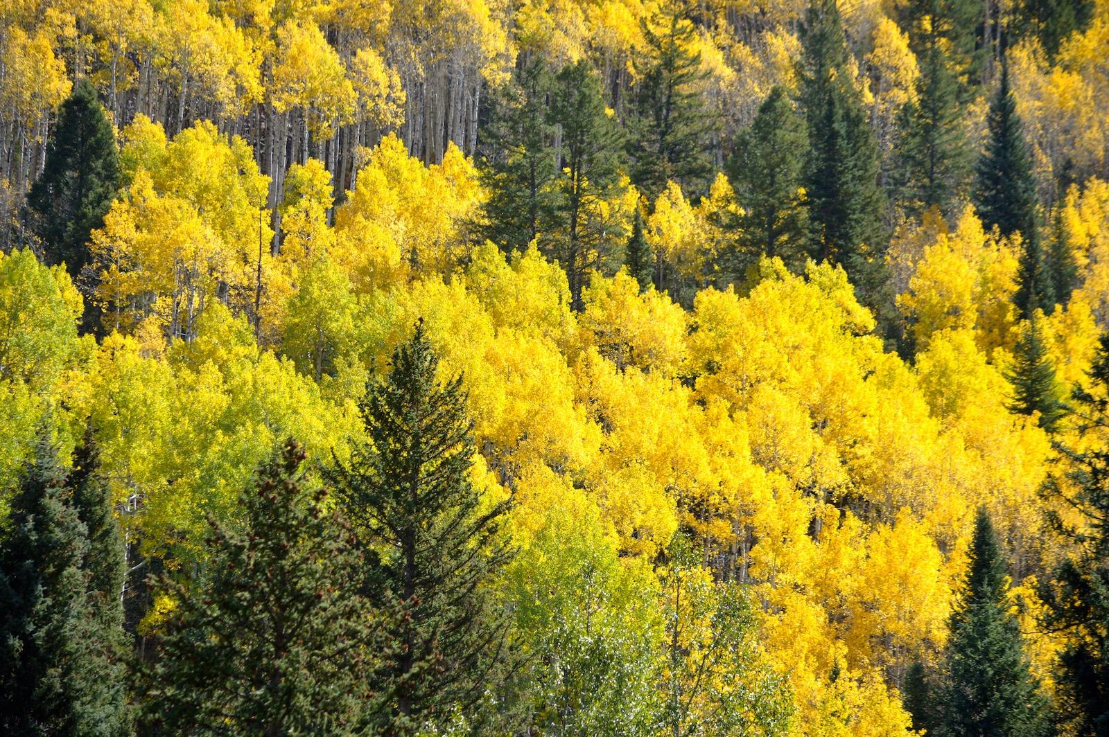 Aspen Trees Cheri Ruskus.jpg