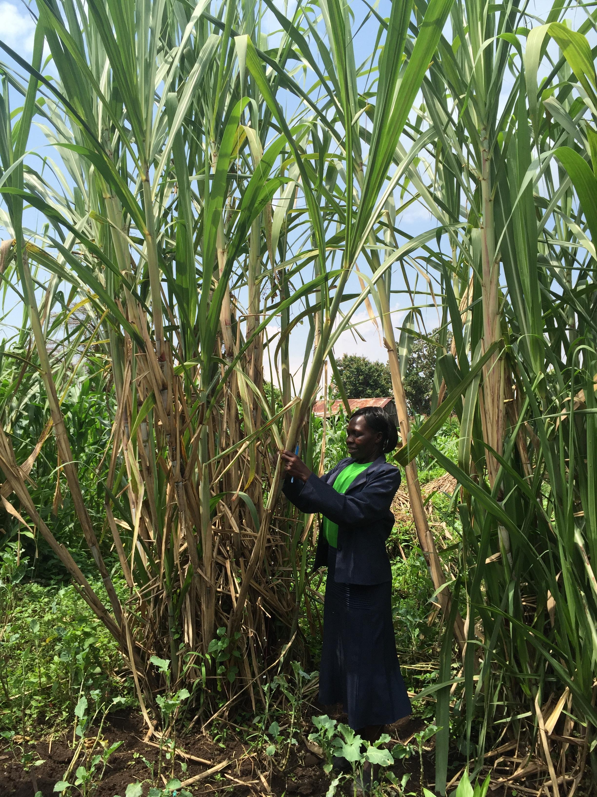 Helen taking down the stalk of sugarcane