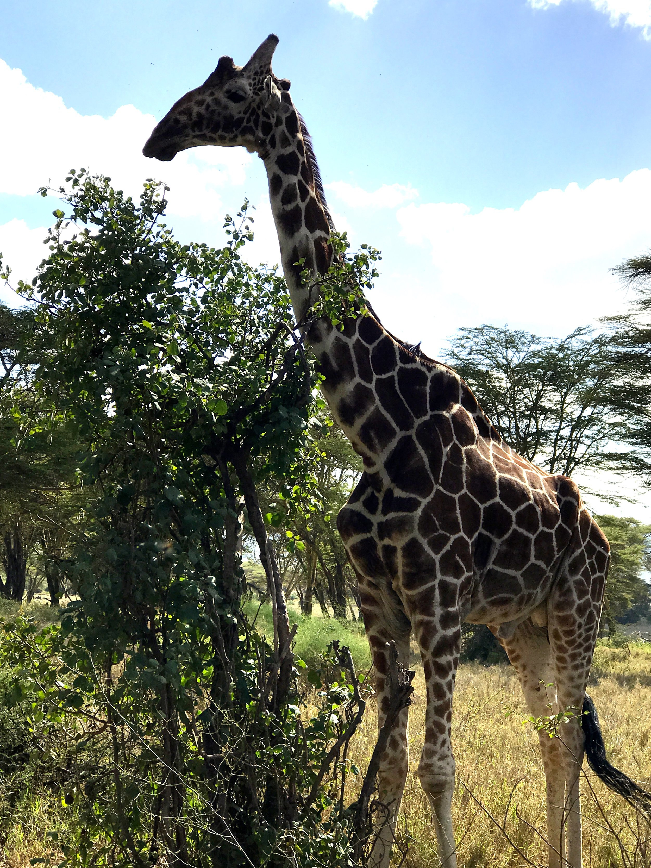A giraffe on the way to the clinic!