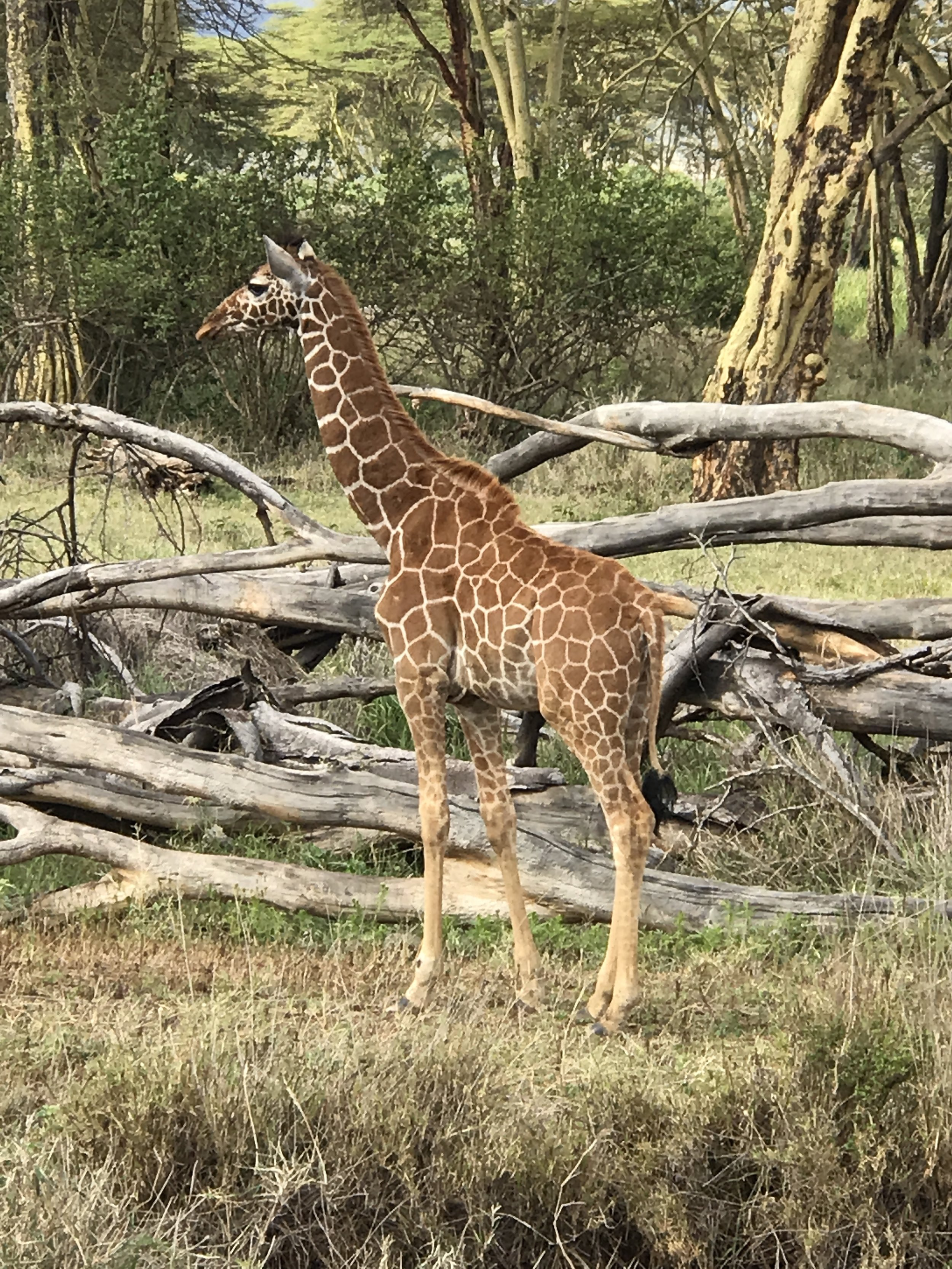 A baby giraffe on the way to the clinic. We've been told the mother left it about two weeks ago and has not come back. They assure us the baby is safe as this particular area is wired off and the lions can't get to it.