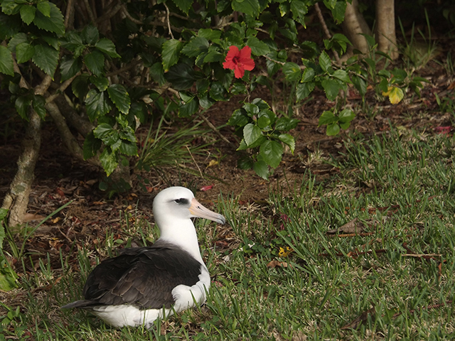 1.  Last week I reported that this was the only albatross to return to the neighborhood by the 15th, which is extremely late for the return of the adults.  Fortunately, we have seen the arrival of many more albies in the last week.   Thankfully, they are just coming later than usual.