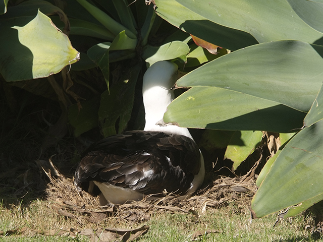 7. The most prolific couple in the area have laid an egg that could be their 9th chick. Here KP460 has nested in a secluded spot under a plant in the front yard. With her mate, KP524, she has raised chicks in eight of the last 10 years. One year they had a bad egg and they took off one year without laying an egg.