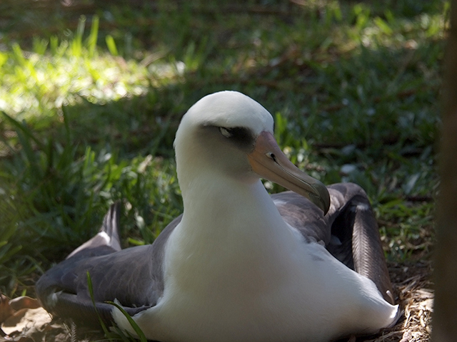 1. After waiting 60 to 65 days, the parents have watched their chicks hatch. This year, the live hatch count in the neighborhood is 6, half of last year's 12 chicks. Several experienced couples had bad eggs and one chick died a day after hatching.