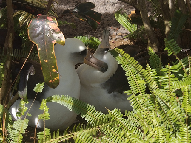 11. A pair of adults are enjoying each other's company. On the right is Lelani, a chick hatched in 2007 in this yard. She is now 9 years old which is when albatross start to breed. Hopefully next year, she and her possible mate will start raising chicks of their own. LAST SLIDE