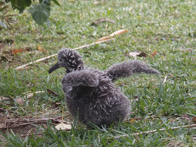 10. Now almost 6 weeks old, Journey is trying out her wings. In the next 4 ½ months, her little stubby wings will grow to over 6 feet long.