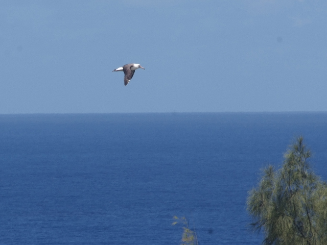 1. Every day we see adult albatross flying around the neighborhood. They show incredible grace as they glide effortlessly on the gentle breezes. Flying in large circular patterns along the bluffs, they can glide for hours, flapping their wings only occasionally.