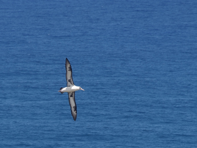 2. This appears to be recreational flying since the albatross do not feed in the waters close to Hawaii. Instead they fly 600-1500 miles to the Arctic waters where they set down on the water and skim their food from just below the surface of the water.