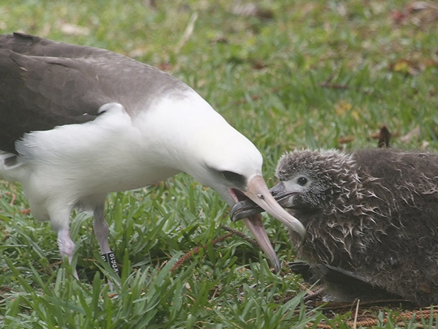 7. Dad lowers his head almost to the ground and opens up his beak. Journey gets into the feeding position.