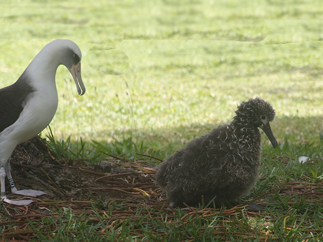 9. After feeding, Journey walked over to visit with Barney, also an offspring of KP618 (2010). Seen here, Journey is on her way back to her nest.