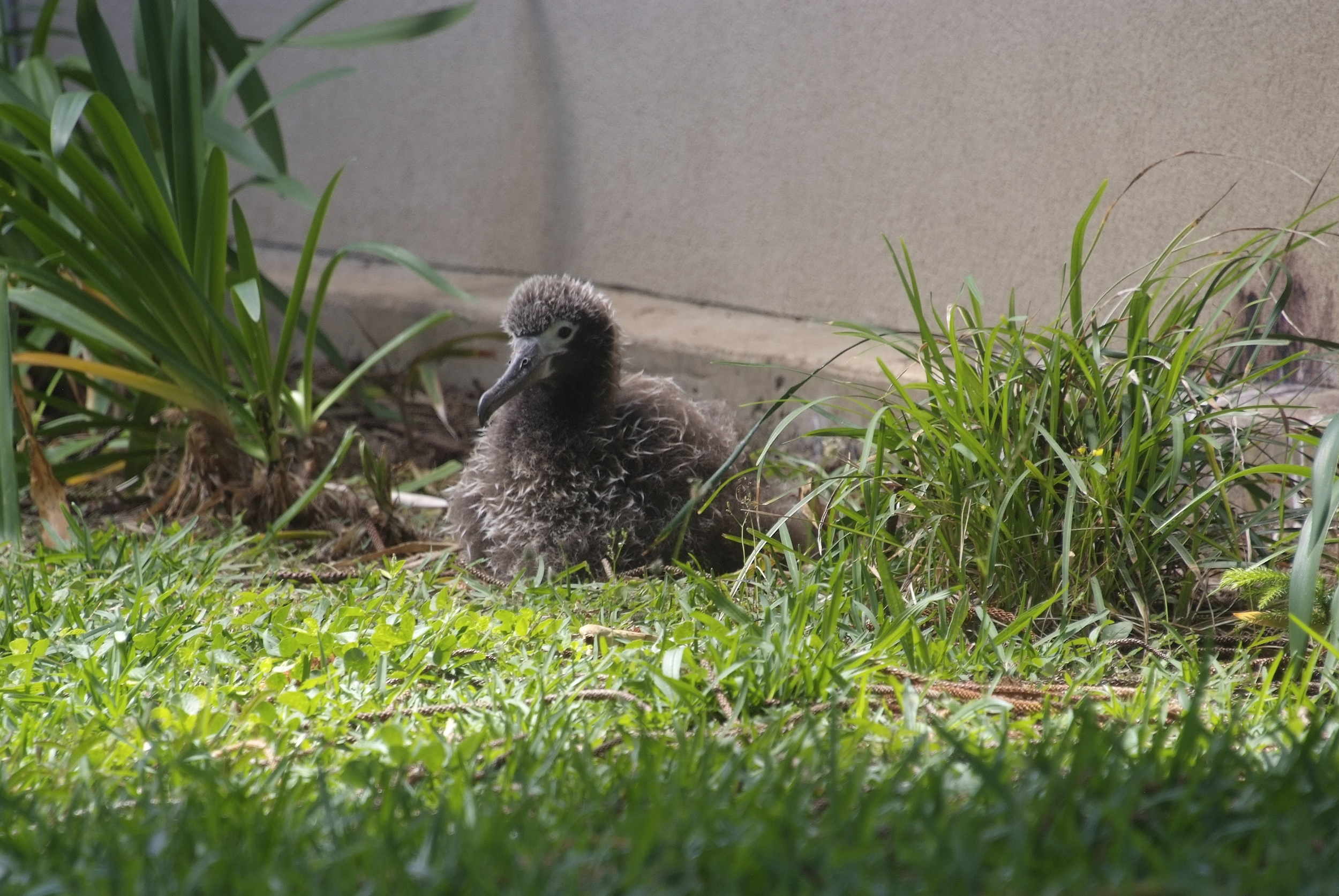 1. The chicks are growing – they are close to adult size now. This month, we are looking the six chicks in this neighborhood. There are also about 6 more located on golf courses elsewhere in Princeville. This is 'Journey' resting in her spot next to the house next door.