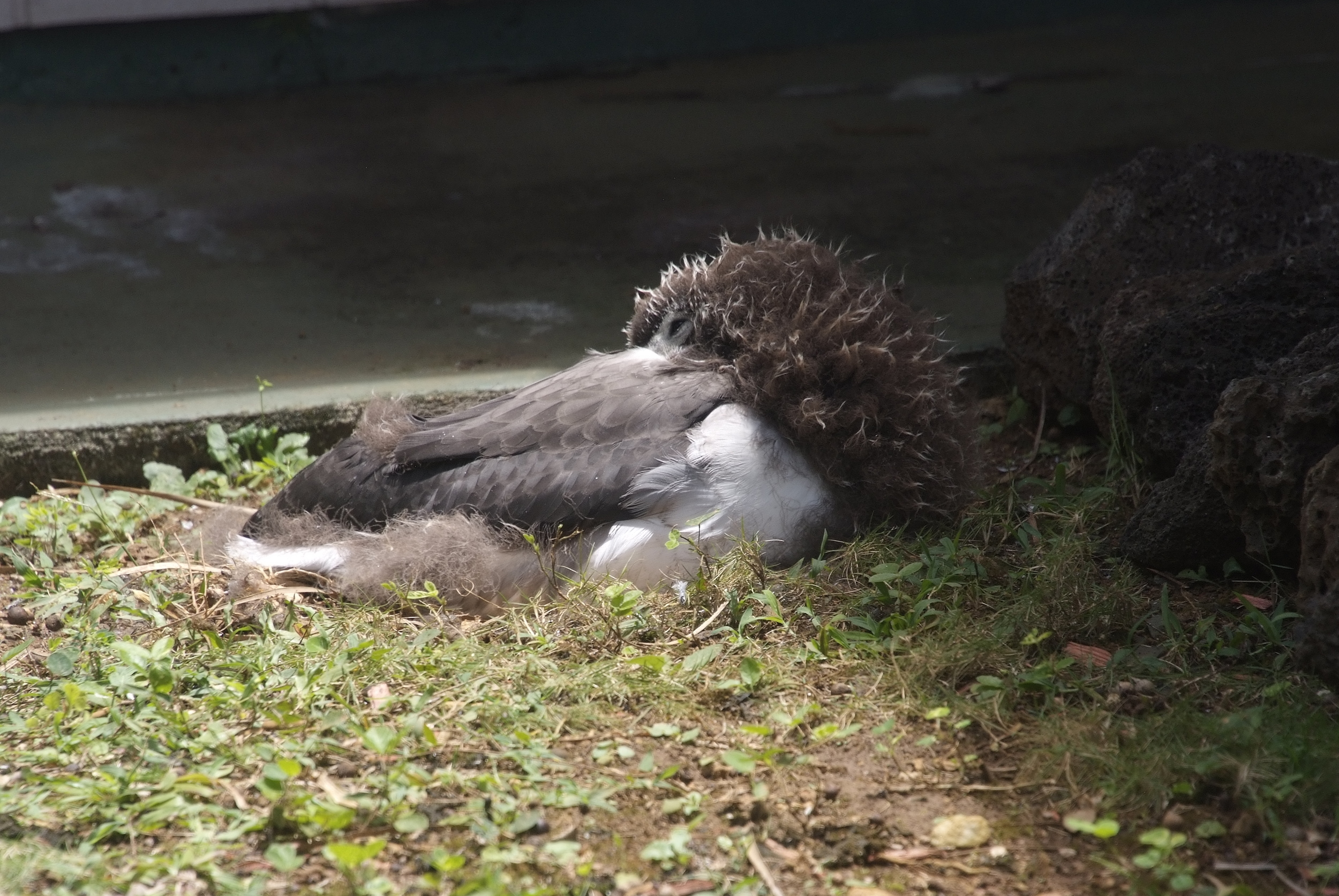 6. This chick is unnamed since the property is owned by off-island people. Refusing to wake up for a photo-op, he/she is demonstrating the position the albatross use for sleeping on the open ocean. They twist their heads back to nestle on their backs as they float.