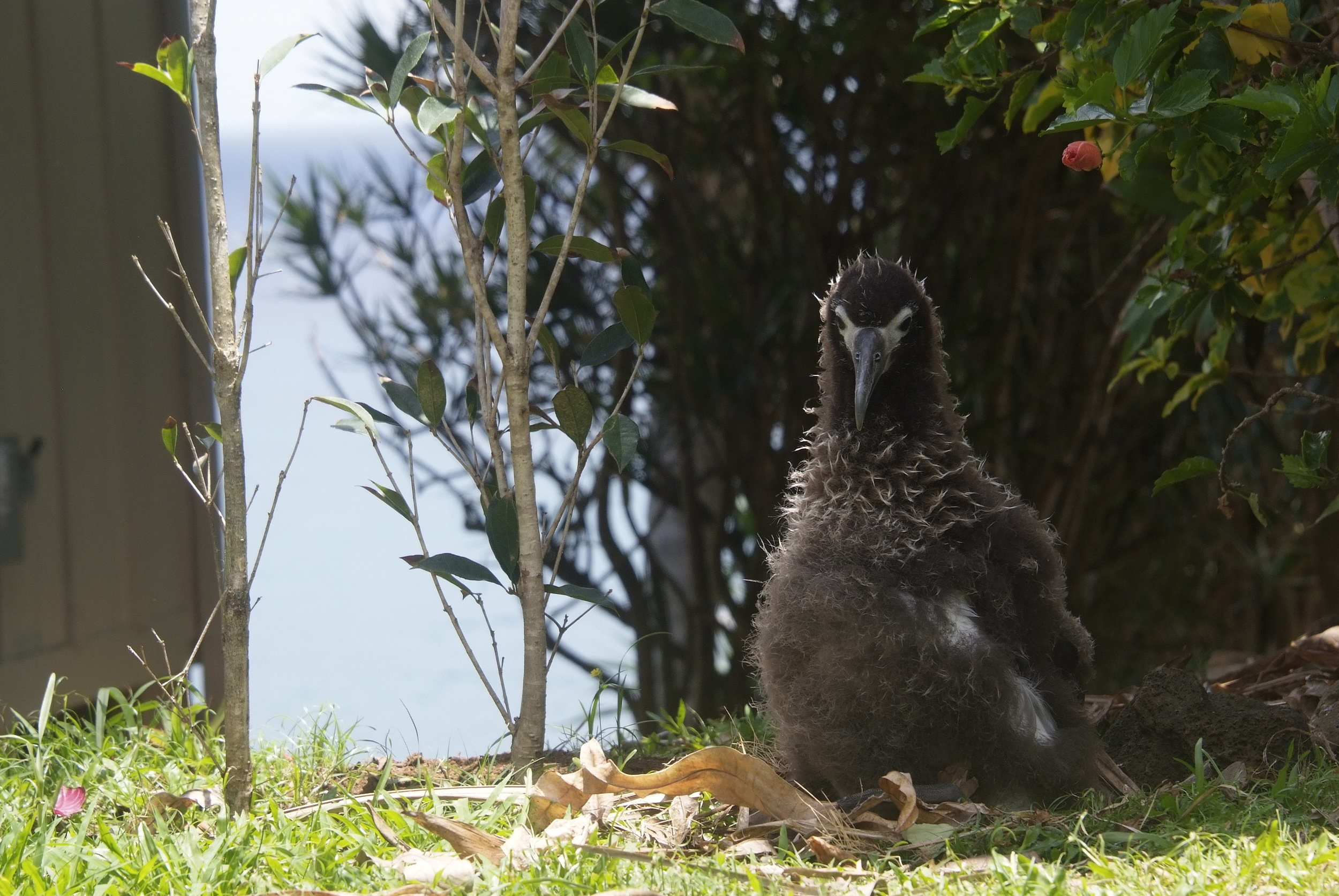 8. His position is unusual since he can see the ocean behind him from his nesting spot. Most chicks are more inland and will not see the ocean until the day they get the urge to fledge. That day, they walk around searching for access to the ocean between the houses.