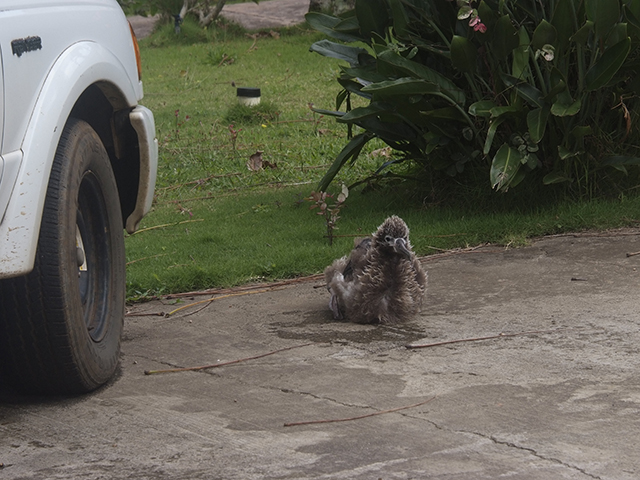 9. The other chicks in the neighborhood are doing well. They are also moving around much more, sometimes testing their wings in the breeze. Here is Paris sitting on the driveway near one of the cars.