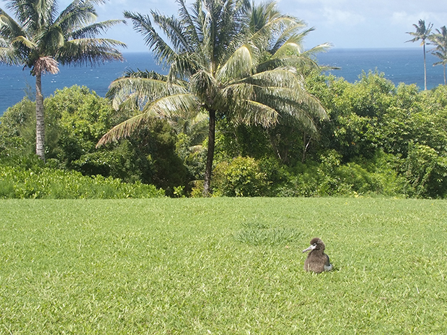 """11. """"Peace"""" actually spends most of the time on one of the three natural launch sites for chicks fledging. When the wind is right, the top of the hill is great for the first takeoff for a chick. They fly out over the trees to reach the ocean beyond."""