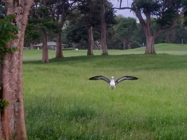 13. Richard Burrows (visitor from Sydney, Australia) contributed this photo of a chick on the golf course spreading its wings, getting a feel for how the wings work with the wind. While they may hop into the air, they will not actually fly until their fledging date, their first flight. LAST SLIDE