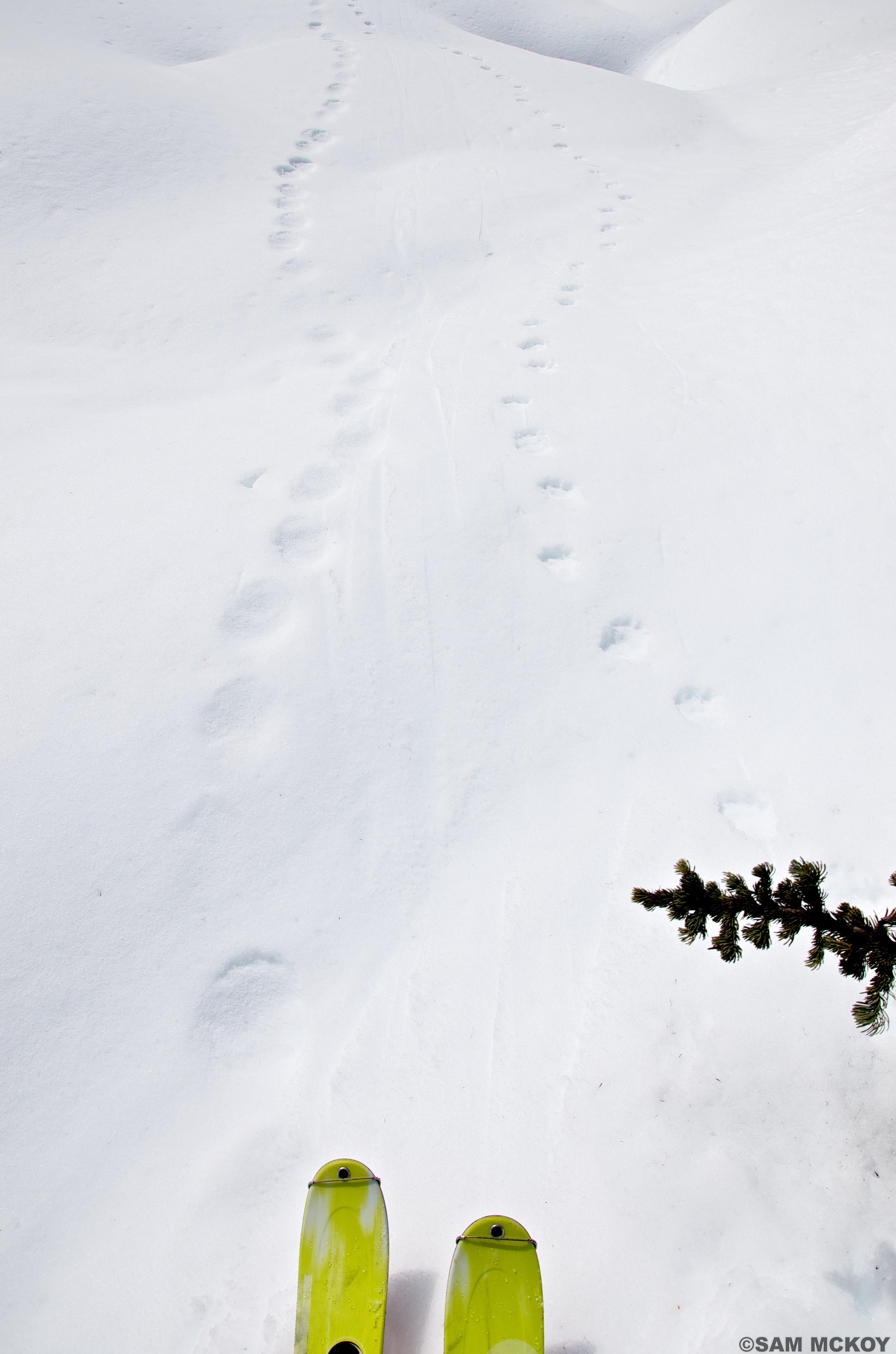 Following bear and cougar tracks.