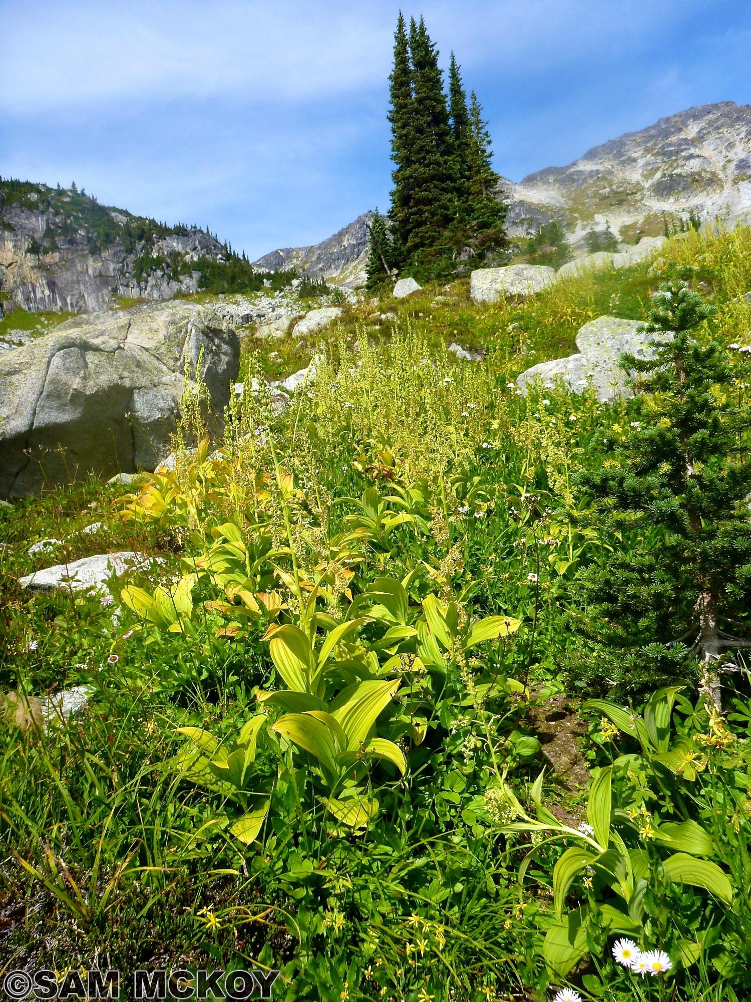 Alpine Meadows above the Wendy Thompson Hut