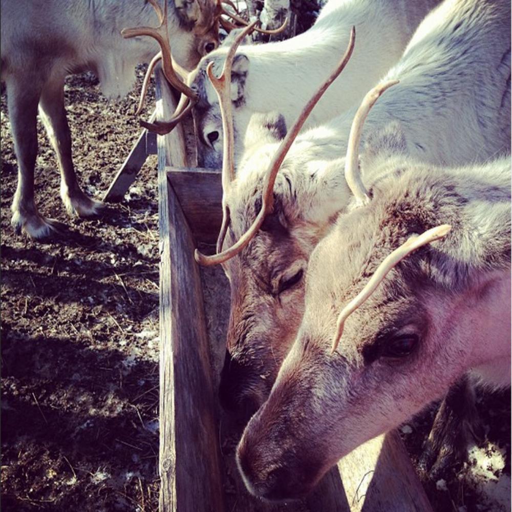 TP_reindeer.jpg